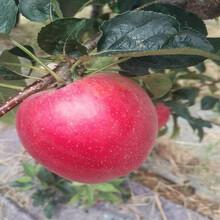 极早红苹果苗图片、极早红苹果苗量大从优图片
