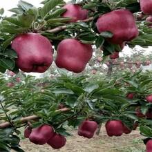 烟富3号苹果树苗厂家、烟富3号苹果树苗垂询电话图片
