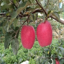 新2001苹果树苗批发、新2001苹果树苗病害防治图片