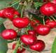 塔瑪拉櫻桃樹苗塔瑪拉櫻桃樹苗培育基地
