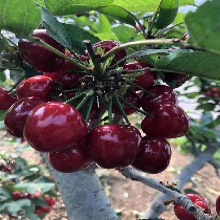 吉塞拉大樱桃苗吉塞拉大樱桃苗种植技术图片