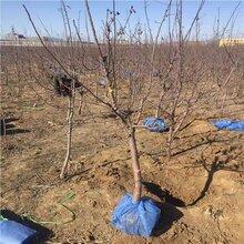 佛山3公分苹果树,6公分苹果苗种植技术图片