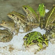 四川眉山青蛙养殖、虎纹蛙养殖,提供种蛙,蝌蚪全程技术指导图片