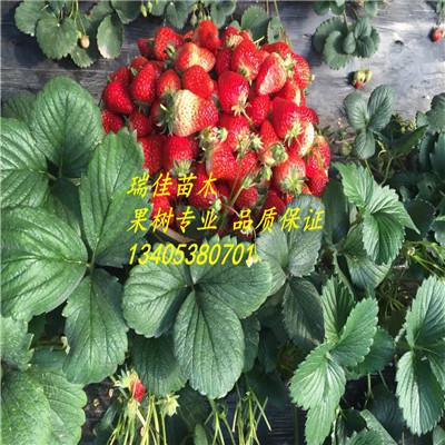 性状良好,适合北方地区大棚栽培 是元旦、春节上市的佳新鲜水果,