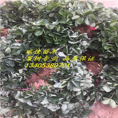 表现良好,适合北方地区大棚栽培 是元旦、春节上市的新鲜水果,