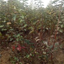 m26矮化新红星苹果苗怎么种植图片