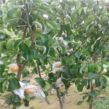 当年结果柱状梨梨树苗怎么卖的图片