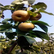 柱状梨梨树苗哪里有卖的柱状梨梨树苗什么时间可以种图片