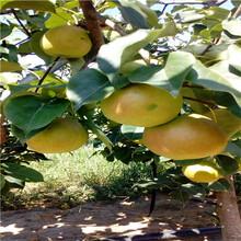 柱状梨梨树苗现挖苗多少钱柱状梨梨树苗价位是多少图片