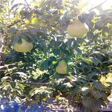 红香酥梨树苗哪里有卖的红香酥梨树苗出售基地电话图片