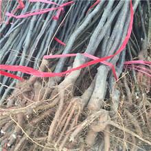 柱状梨梨树苗现挖苗多少钱柱状梨梨树苗品种表现怎么样图片