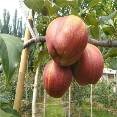 黄冠梨树苗:果实椭圆形,个大,平均单果重235克,1大果重360克.