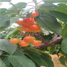 月牙枣枣树苗现挖苗多少钱月牙枣枣树苗哪里便宜图片