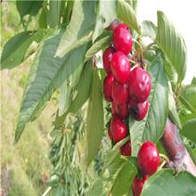 俄罗斯8号樱桃苗多少钱一棵俄罗斯8号樱桃苗一亩地种多少棵图片