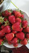 黑龙江专业从事草莓苗报价品种齐全图片