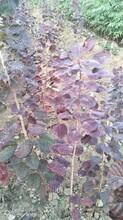 河北专业从事红栌苗种植技术图片