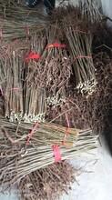 花椒苗批发品种齐全图片