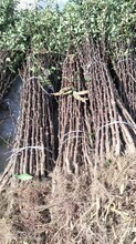 河北花椒苗种植品种齐全图片