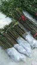 江苏花椒苗种苗销售品种齐全图片