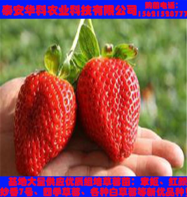 耐储存的露天草莓苗怎样种+发货快