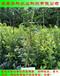 山东苔藓小蓝莓苗怎么种植华科公司