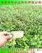 有分枝的北陆蓝莓苗种植技术哪里好华科农业