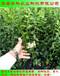 请问三年生蓝莓苗亩产多少斤华科苗木