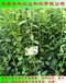 山东一年生蓝莓苗出售华科苗木
