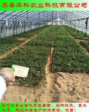 有分枝的兔眼蓝莓苗上市早价格高华科苗木