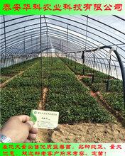好管理的一年生蓝莓苗苗圃供应华科公司