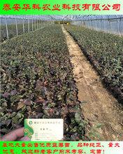 价格低的双丰蓝莓苗哪里出售华科公司