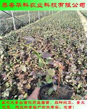 个大的薄雾蓝莓苗大量销售华科苗木