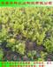 个大的绿宝石蓝莓苗批发商华科农业
