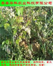 方便采摘的薄雾蓝莓苗多少钱起苗华科公司
