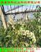 品种纯正的双丰蓝莓苗繁育基地直销华科农业