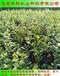 便宜的兔眼蓝莓苗供应商华科公司