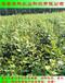免疏果的钱得勒蓝莓苗供应价格华科农业