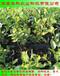 有分枝的蓝丰蓝莓苗上市早价格高华科农业