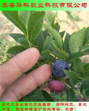 抗病虫害的双季蓝莓苗哪里卖华科苗木