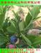免疏果的苔藓小蓝莓苗的施肥与管理华科公司