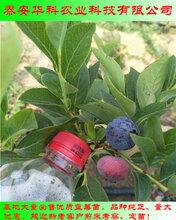 抗病的苔藓小蓝莓苗亩载多少株华科苗木