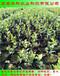 果大的薄雾蓝莓苗怎样施肥华科公司