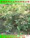 组培的占地蓝莓苗怎样施肥华科公司