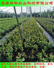 价格低的绿宝石蓝莓苗基地华科公司