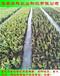 免疏果的五年生蓝莓苗2019价格华科农业