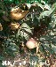 血桃价格7-5油蟠桃苗多少钱一株桃树苗