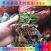 湖北钻石草莓苗价格草莓苗图片