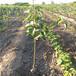 梨树苗多少钱哪里卖梨树苗