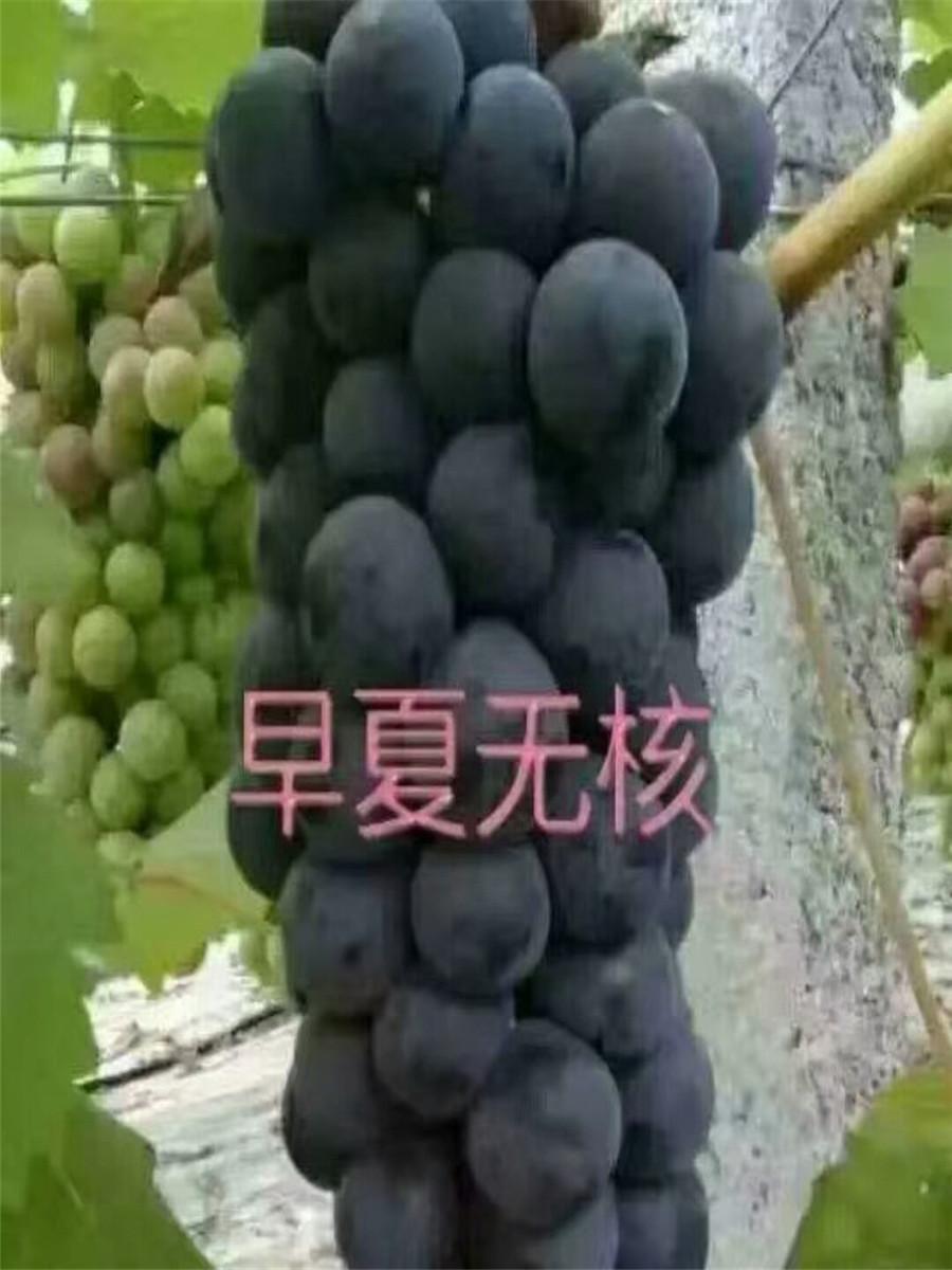 葡萄苗什么品种好,葡萄苗