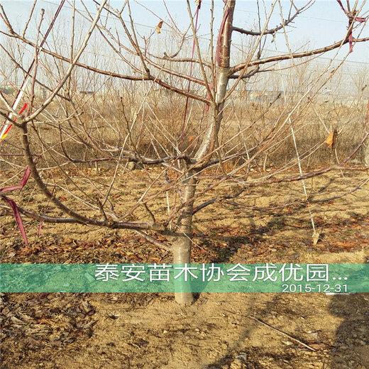 最的杏_唐奉镇有着深州市最大的杏子种植果园 现已成熟